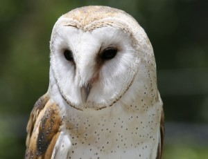 norfolk wildlife barn owl