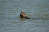 Record-Breaking 2017 Birth Season Enjoyed by Grey Seals at Blakeney Point in Norfolk