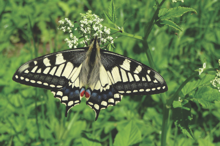 Norfolk's Rare and Unusual Wildlife – swallowtails.