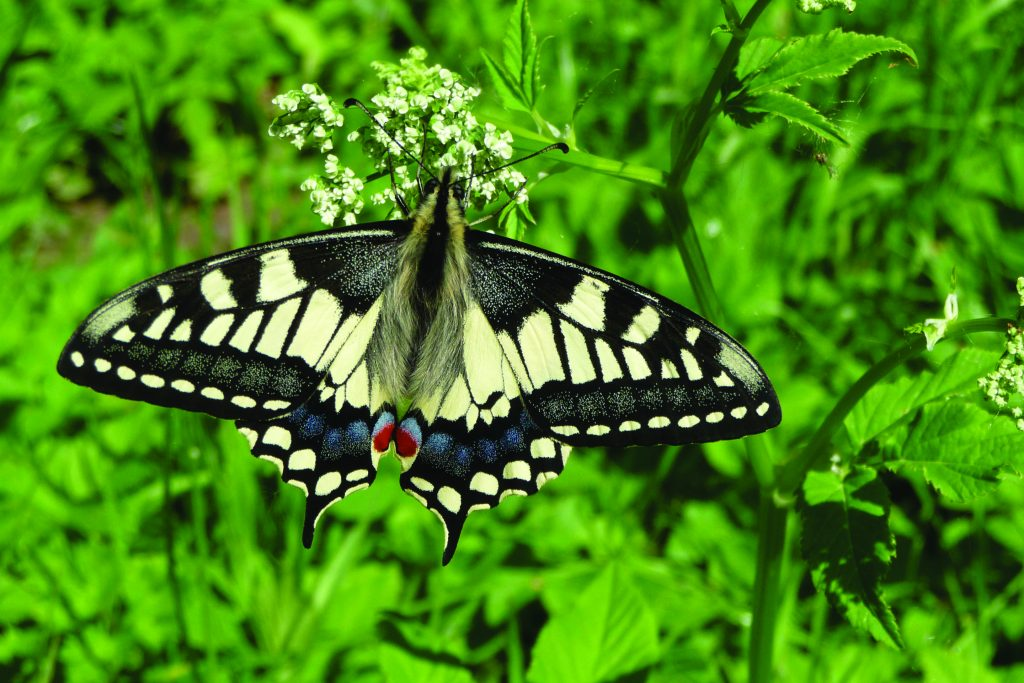 Facts About the Broads: home to the rare swallowtail butterfly.