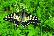 Rare Norfolk Swallowtail Butterfly Could Benefit from Conservation Project in Papua New Guinea