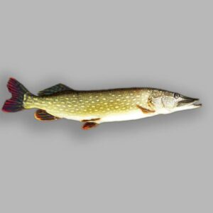 Pike, one of the fish you may catch when fishing in the Norfolk Broads.