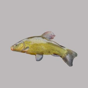 Tench, one of the fish you may catch when fishing in the Norfolk Broads.